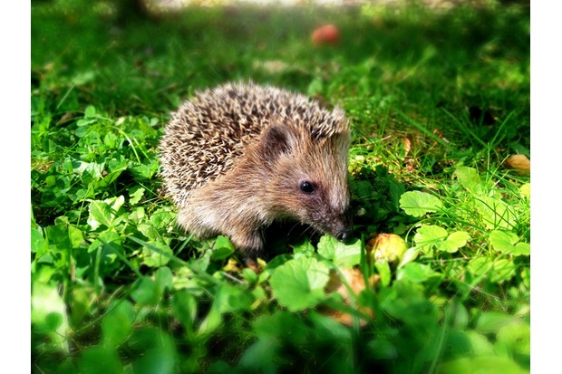 Close-Up Of Hedgehog On Green Field