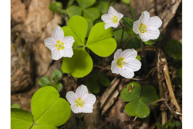 Common Wood Sorrel, Oxalis acetosella, flowers macro with leaves defocused, selective focus, shallow DOF