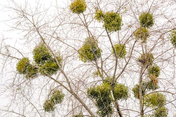 Viscum album or mistletoe is a hemiparasite on several species of trees, it has a significant role in European mythology, legends, and customs