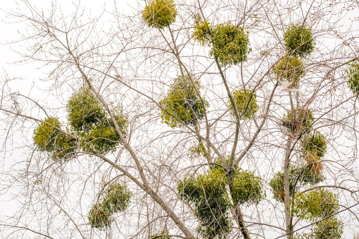 Guide To Mistletoe History How It Became A Christmas Tradition And