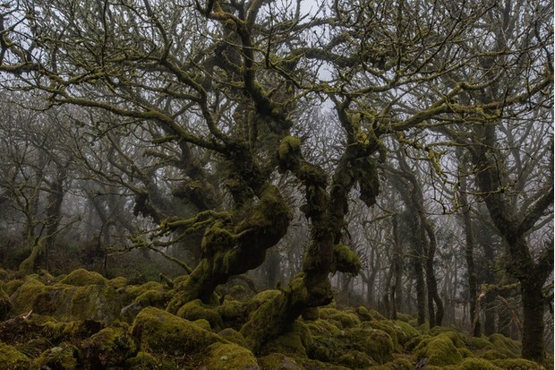 Wistman's wood, dartmoor.