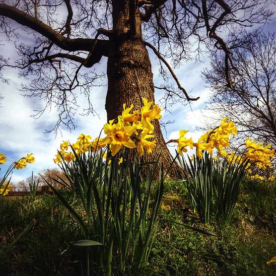 daffodils in early spring