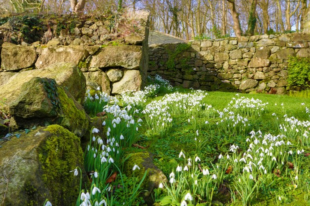 Snowdrops growing on a grass bank alongside a drystone wall