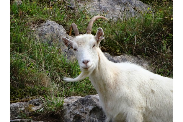 Photo showing a wild, white mountain goat climbing on the rocks / cliff-face. These domestic goats were actually introduced to the area (Burrington Combe, Somerset, England, UK) many decades ago, in a successful attempt to keep the weeds, bushes and seedling trees at bay, and the attractive rock face / gorge clear. They have thrived and established a small group in the wild, becoming something of a tourist attraction as they confidently climb the dangerous, steep cliffs.