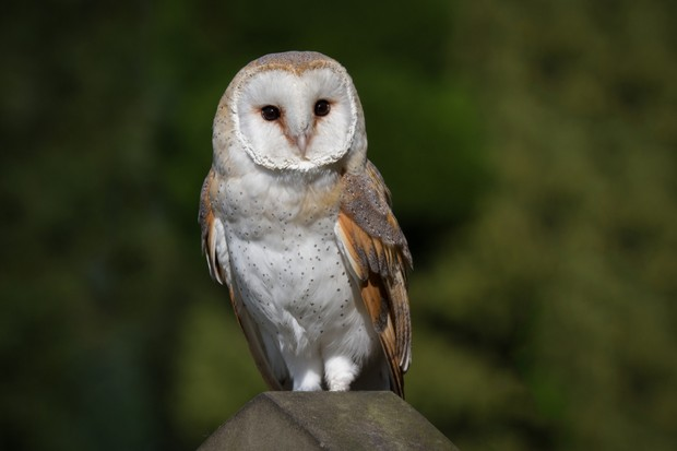 A portrait of a barn owl typo alba perched on the top of a gravestone