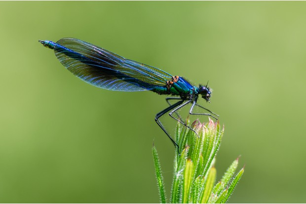 Damselfly with dark band across centre of wings and metallic blue-green body