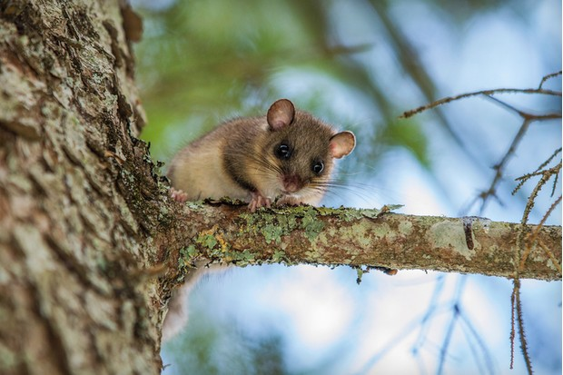 Dormouse on the pine tree supervise surrounding area.