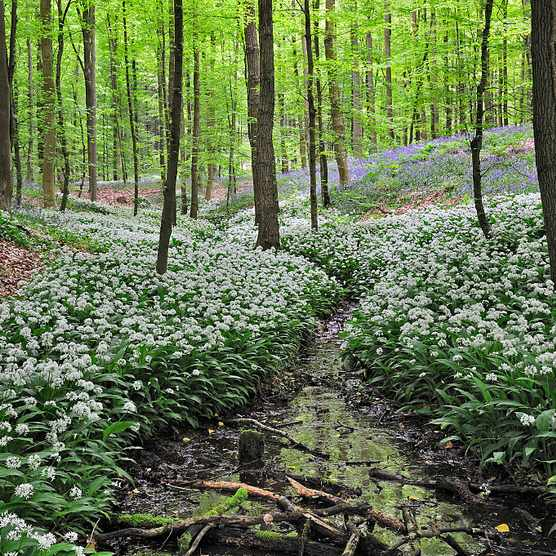 Wild garlic / Ramsons (Allium ursinum) and bluebells flowering along forest brook in beech deciduous woodland. (Photo by: Arterra/UIG via Getty Images)