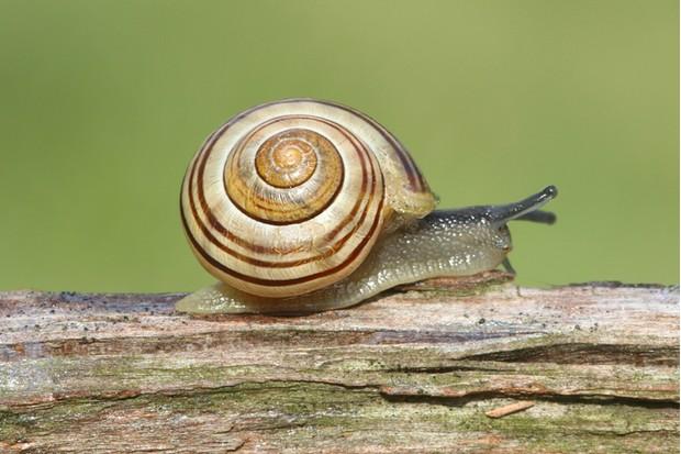 British slugs and snails guide - Countryfile com