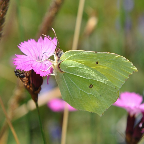 brimstone butterfly while sucks up the nectar