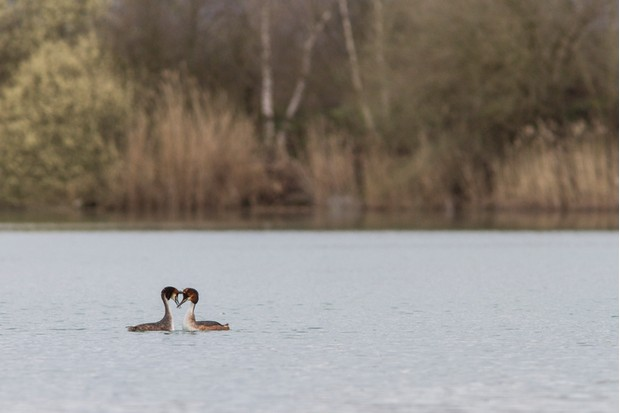Great crested grebe courtship display on marsh.
