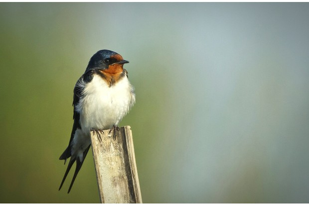 Barn Swallow Perching On Wooden Pole