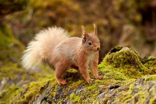 Red Squirrel  (Sciurus vulgaris) Cairngorms National Park, Scotland, United Kingdom