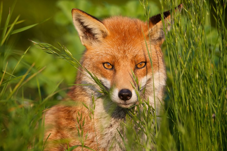 A red fox looking through the long grass in the evening sunlight.