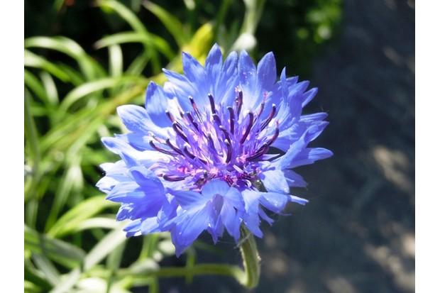 Cornflower – Centaurea cyanus