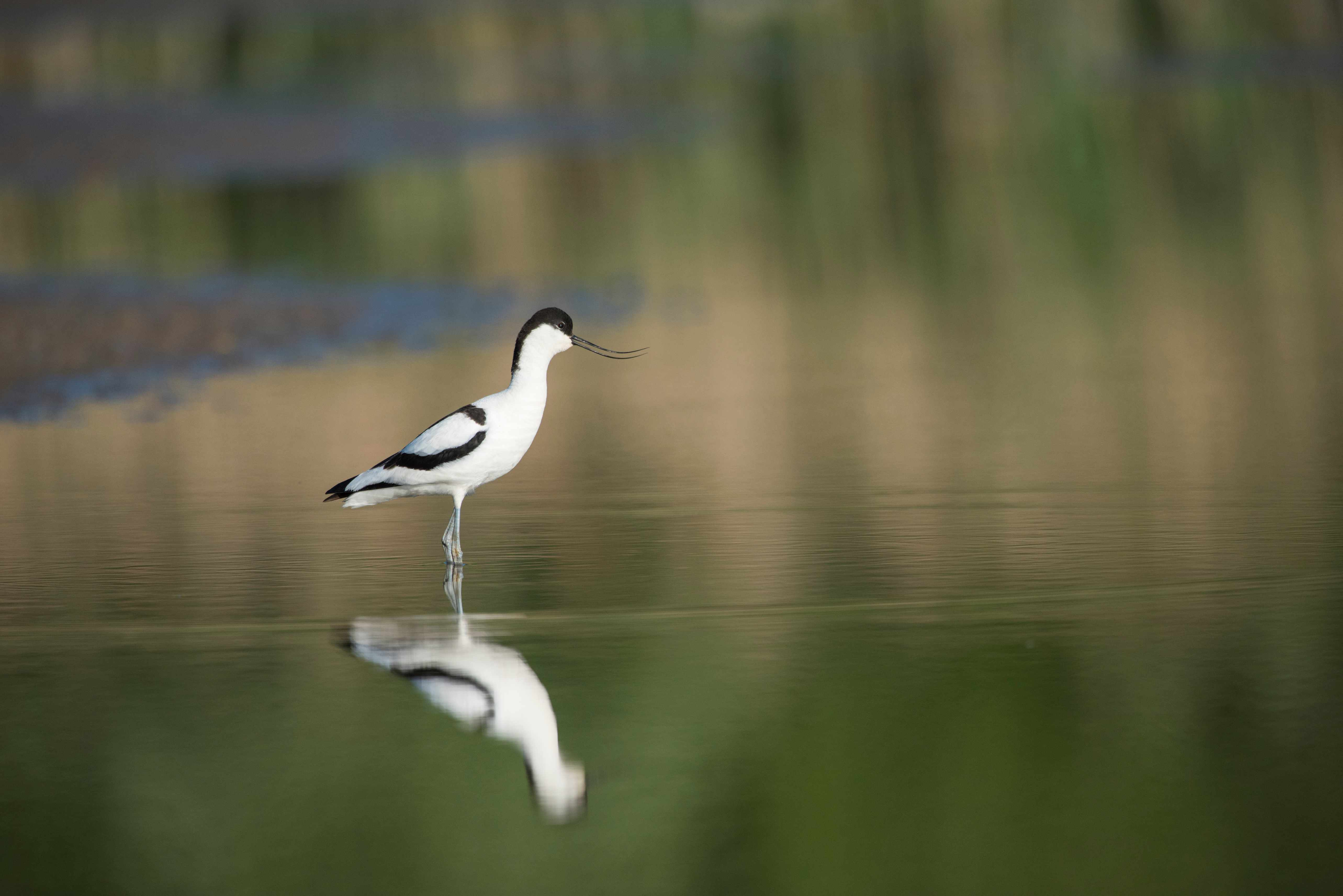 Avocet Recurvirostra avosetta Adult calling whilst standing in lake with concentric rings on surface, Norfolk, UK,  Europe