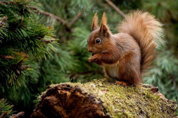 Red squirrel on a log wild uk