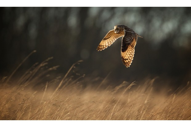 A short eared owl hunting over a field in the evening light.