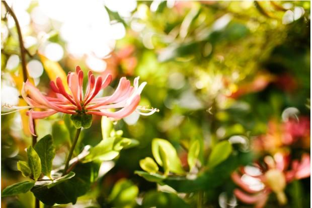 Honeysuckle – Caprifoliaceae