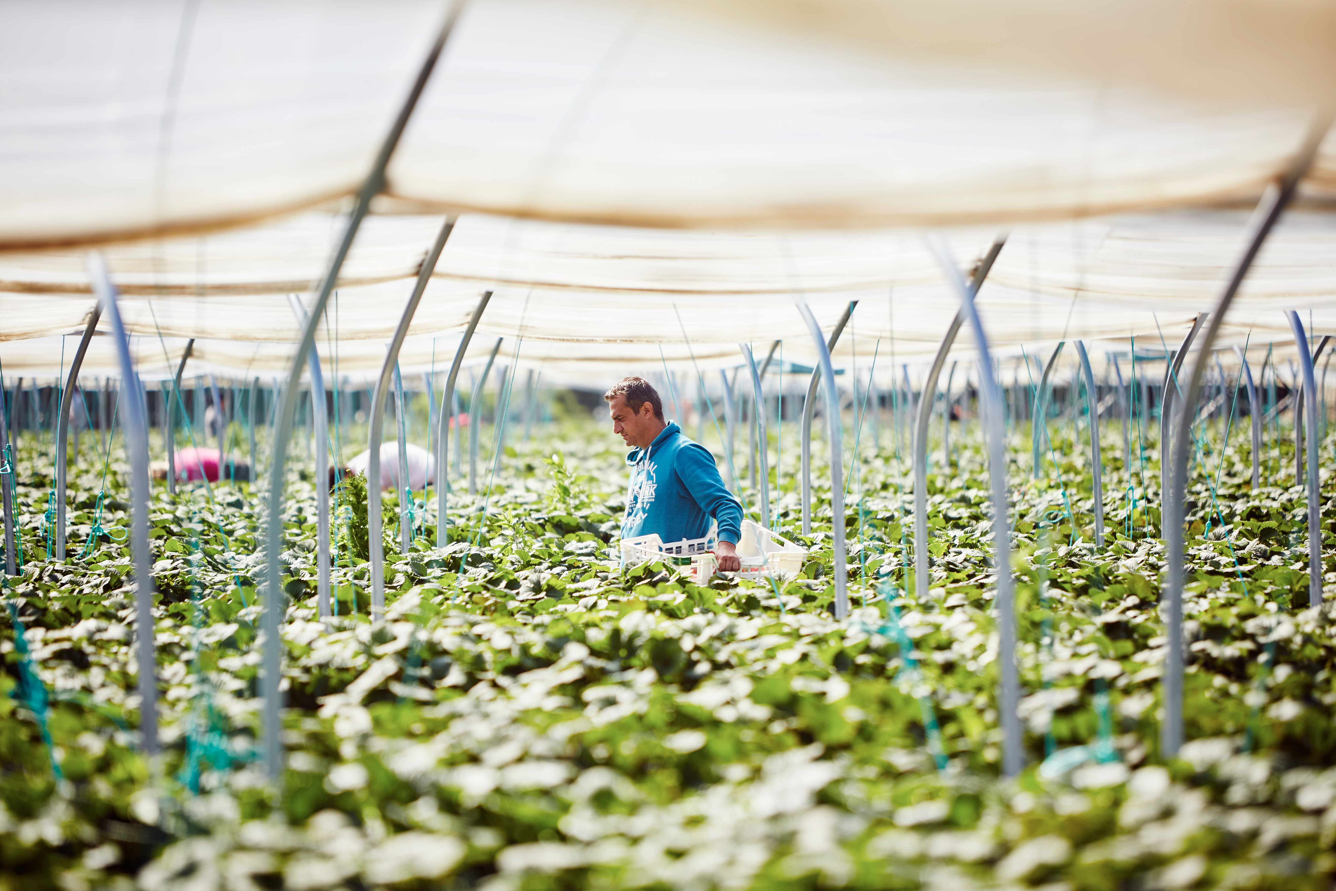 Fruit pickers working in intensive fruit farming environment harvest strawberries from poly tunnels in summer sunshine.