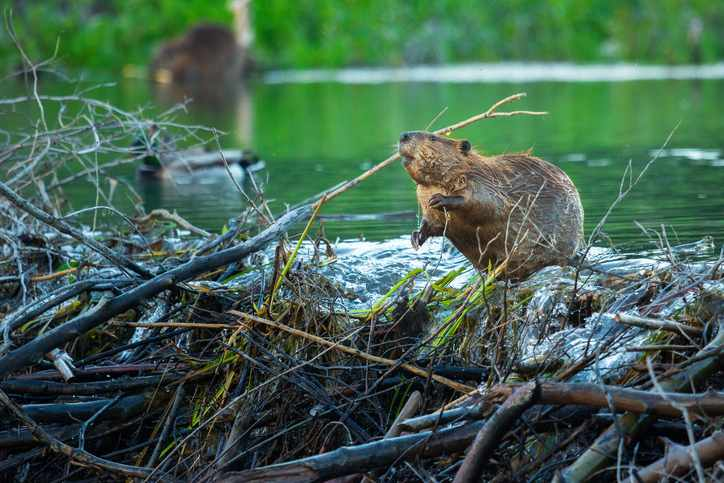 A beaver throws some twigs on top of his dam as his partner eats some grass near the shore. Taken in Grand Teton National Park, Wyoming.