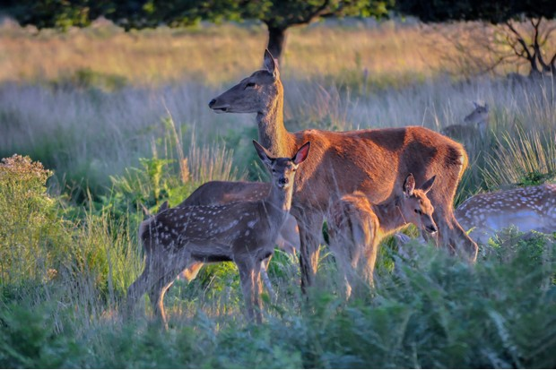 Female Deer and young together in the setting sunlight of Richmond Park, grasslands. London, England, United Kingdom
