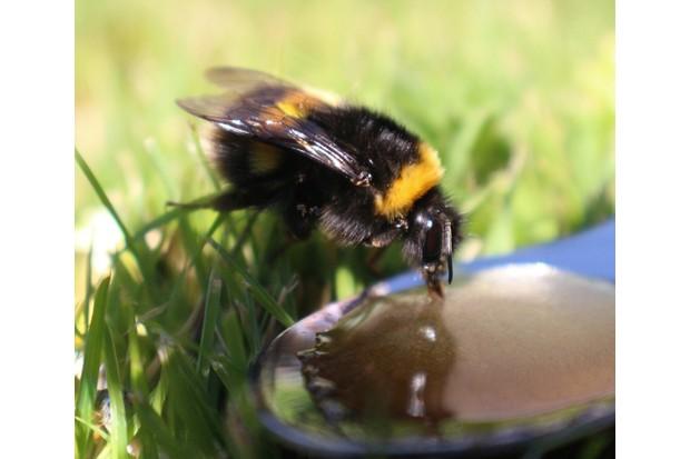 Honey Bee Drinking Water In Park