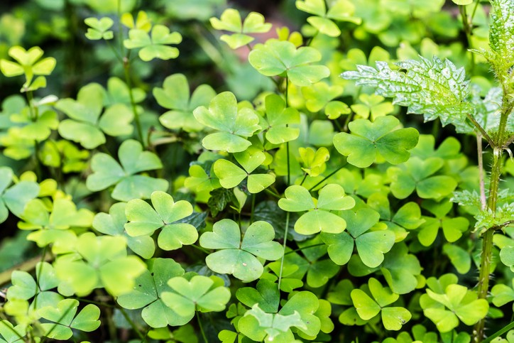 Wood Sorrel, A clover-like plant in appearance that produces three, heart-shaped leaflets. Often found in grasslands and wooded areas.