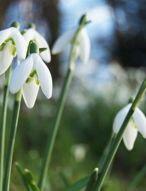 A closeup of Spring Snowdrops in the sun.