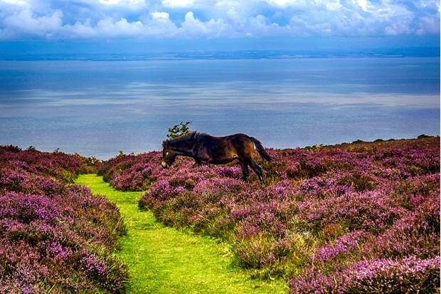 Wild Heather flowers on Exmoor in North Devon, UK
