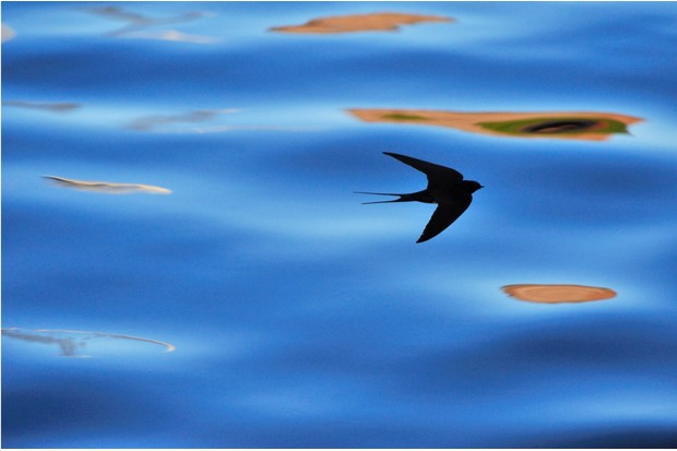 Silhouette of Swallow (Hirundo rustica) hawking for insects, Berwickshire, Scotland, July