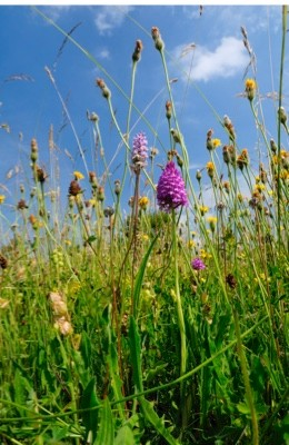 Traditional organic hay meadow with a profusion of wild flowers and grasses including Pyramid orchid (Anacamptis pyramidalis), Common spotted orchid (Dactylorhiza fuchsii), Rough hawkbit (Leontodon hispidus), and Yellow rattle (Rhinanthus minor). Gloucestershire, UK, June.