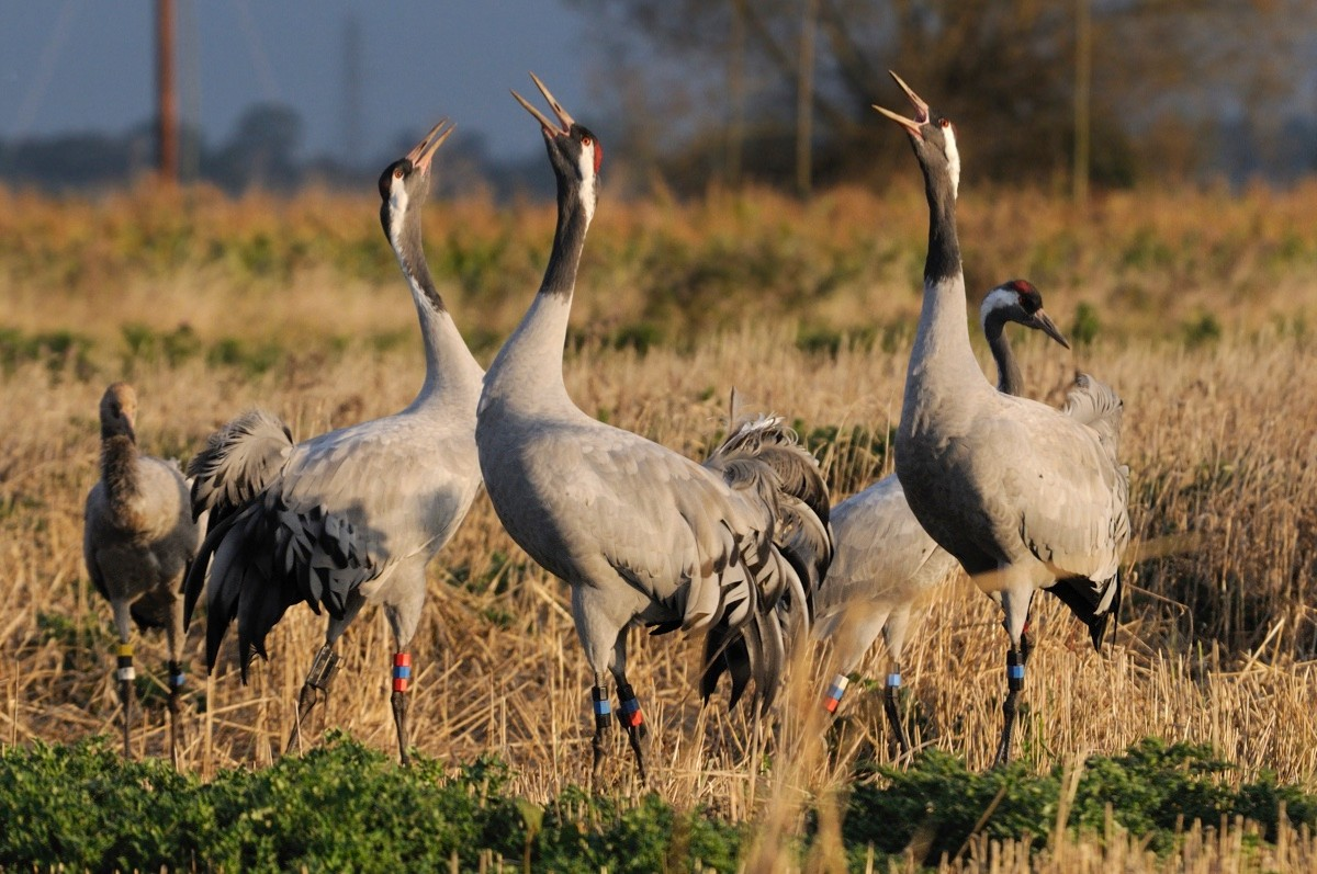 "18 month old Common / Eurasian cranes (Grus grus) ""Bart"", ""Christine"" and ""Gilbert"", released by the Great Crane Project onto the Somerset Levels and Moors, calling in Barley stubble field at dawn with bustles raised as other flock members look on, Somerset, UK, October 2011."
