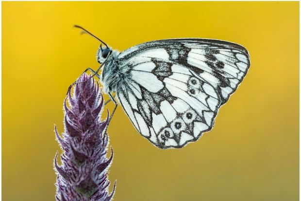 Marbled White butterfly (Melanargia galathea) at rest, Dunsdon Nature Reserve, Devon, UK. July.