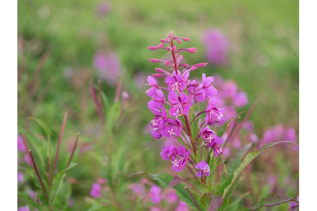 Fireweed blooms in summer plateau