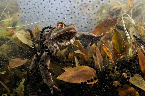 Common toad (Bufo bufo) in a pond, with toad spawn and frogspawn, Coldharbour, Surrey, England, UK, March. 2020VISION Book Plate.