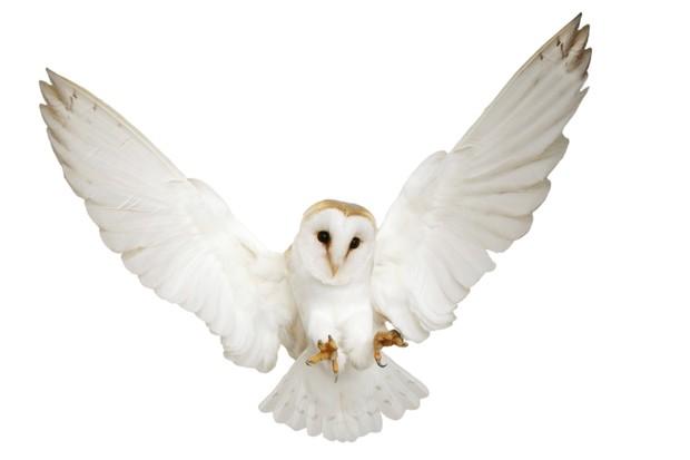 Barn Owl (Tyto alba) pouncing. []