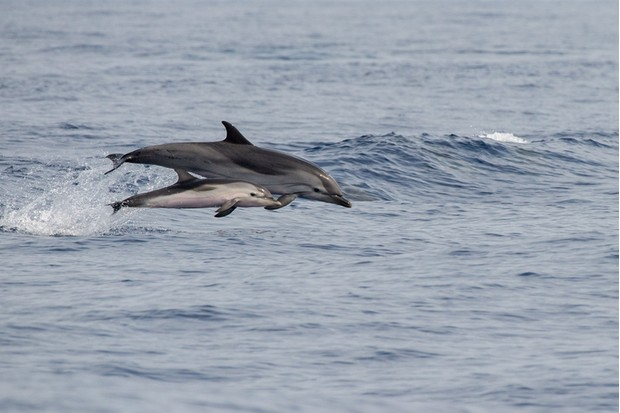 mother and calf striped dolphin jumping outside the sea