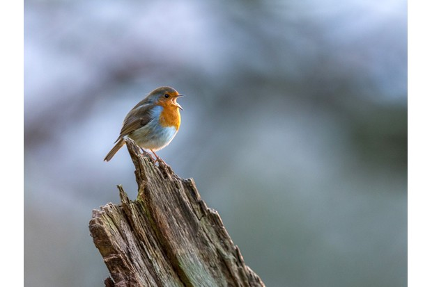Beautiful European Robin (Erithacus rubecula) singing on an old dilapidated log, Isolated against a multicoloured background.