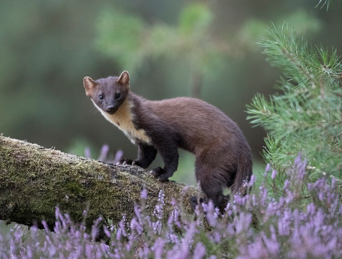 Pine Marten posing on log behind heather.
