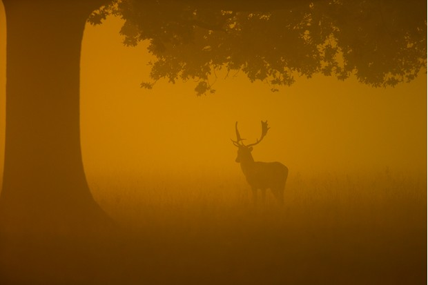 Fallow buck silhouetted against a foggy sunrise early in the autumn.