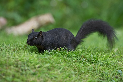 Black Squirrel, Sciurus carolinensis, a genetic variation of the Grey Squirrel (Eastern Gray). First seen in UK in 1912, now widespread. Attracted to rural garden by presence of bird feeders, Wales, UK.