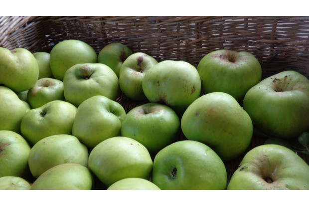English Bramley cooking apples