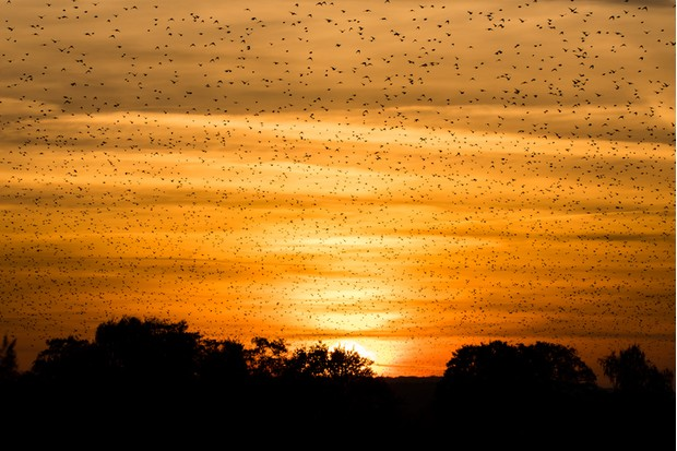 Murmuration at dusk fills sky with huge numbers of birds at Ham Wall National Nature Reserve in Somerset, UK