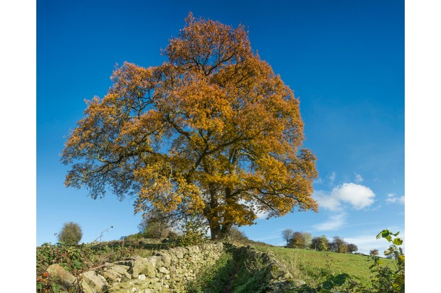 Majestic Oak tree in autumn in sunny weather