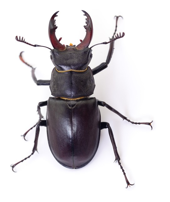 Male black Stag Beetle isolated on white background.