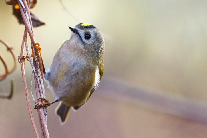 goldcrest ,Regulus sitting on a branch in backlit,birds,birdwatching , wood