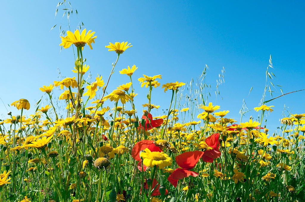 A summer meadow of wild flowers. (Photo by: Education Images/UIG via Getty Images)