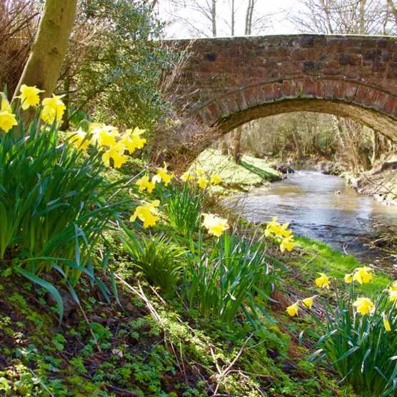 Denbighshire, Llandegla, bridge over river Alyn, daffodils, springtime, national flower of Wales