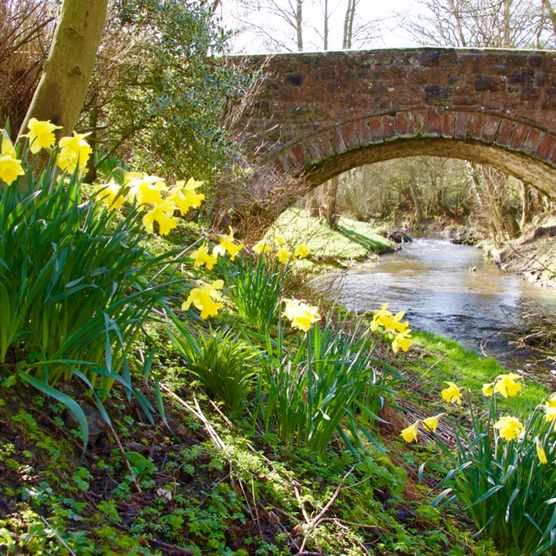 Denbighshire, Llandegla, bridge over river Alyn, daffodils, springtime, national flower of Wales